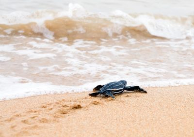 Costa Rica - Baby Turtle-resized