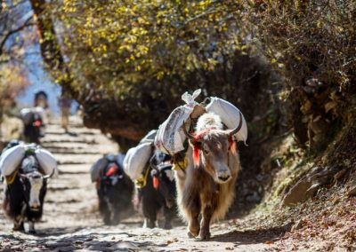 Nepal - Yaks