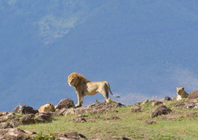 Tanzania - Lion Small